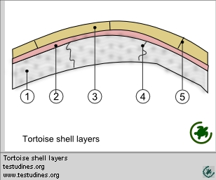 Tortoise shell layers
